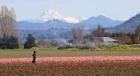 Tulip Harvesting Skagit Valley, Washington