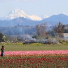 Tulip Harvesting Skagit Valley, Washington